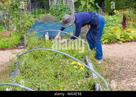 Woman picking tomatoes at Patrick's Patch, Beaulieu, New Forest, Hampshire UK in August - Stock Photo