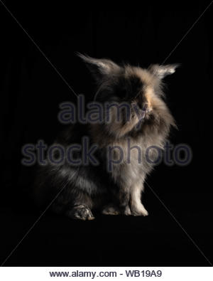Portrait of a Lionhead Rabbit Isolated on a Black Background - Stock Photo