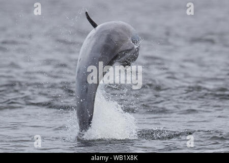 Dolphin from the beach at Chanonry Point, in the Scottish Highlands - Stock Photo
