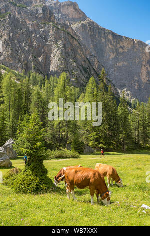 Cows grazing on a meadow in a mountain canyon in the Alps - Stock Photo