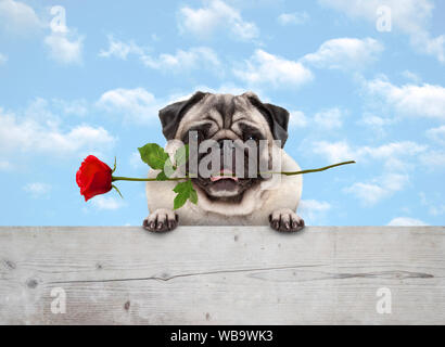 frolic cute smiling pug puppy dog with red rose in mouth, with paws on wooden fence banner, with blue sky background - Stock Photo