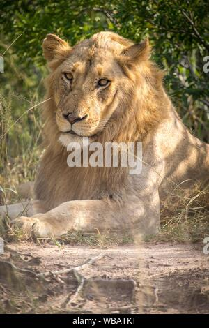 African Lion (Panthera leo), adolescent male, lying in the grass, nature reserve Klaserie, South Africa - Stock Photo