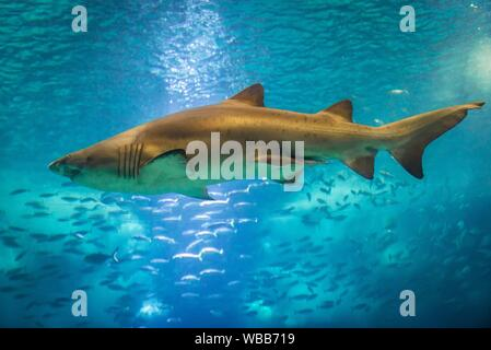 Carcharias taurus commonly known as Sand tiger shark in Oceanario de Lisboa in Lisbon, Portugal. - Stock Photo