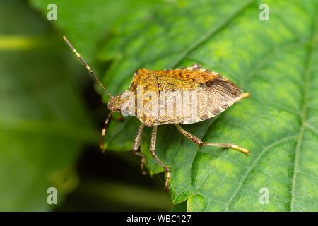 Brown Marmorated Stink Bug (Halyomorpha halys) - Stock Photo
