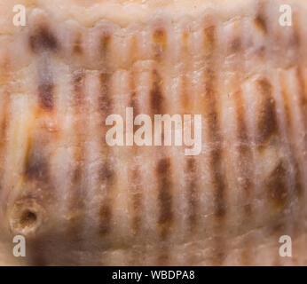 Shell lines pattern. abstract texture, Summer background - Stock Photo