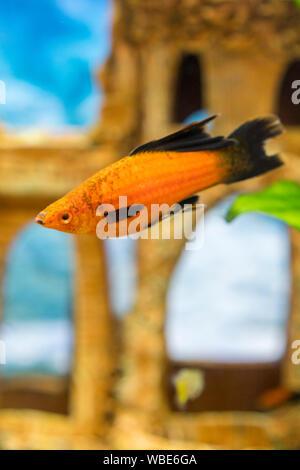 Tropical colorful fishes swimming in aquarium with plants. Goldfish, Carassius auratus, captive. Fish in the aquarium. vertical photo. - Stock Photo