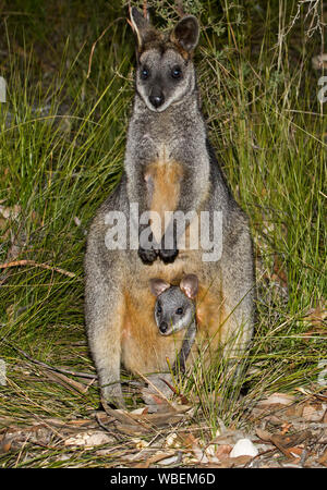 Beautiful swamp wallaby, Wallabia bicolour, with joey peering from pouch, both staring at camera from among tall grasses, in the wild in Australia - Stock Photo