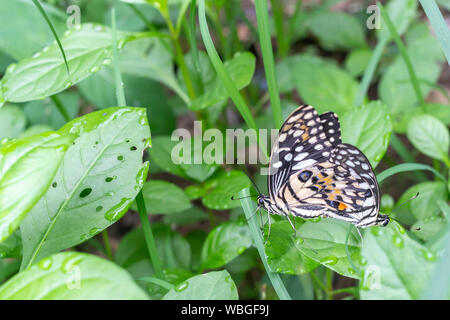 two beautiful lime or lemon butterfly breeding on grass in the nature. - Stock Photo