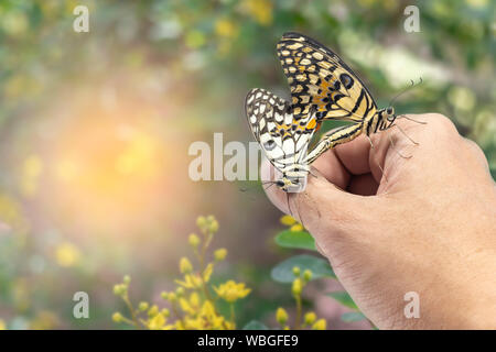Two beautiful lime or lemon butterfly breeding on hand with blurred background in the nature. - Stock Photo