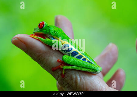 Red-eyed Treefrog (Agalychnis callidryas) sits on a woman's hand  in Costa Rica - Stock Photo