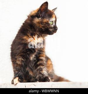 European young cat. Tortoiseshell or calico cat - Stock Photo