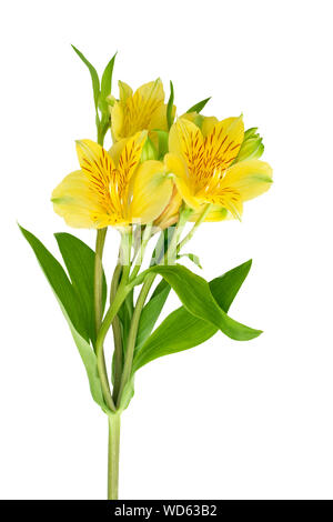 Yellow alstroemeria flower on white background isolated close up, three lily flowers on one branch with green leaves, yellow peruvian or Incas lily - Stock Photo