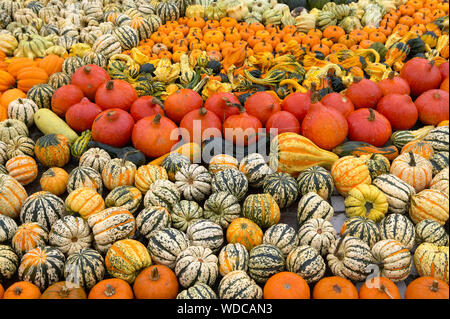 Display of various squashes and pumpkins - Stock Photo