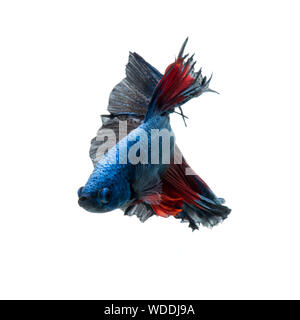 Capture the moving moment of red-blue siamese fighting fish isolated on white background. betta fish. - Stock Photo