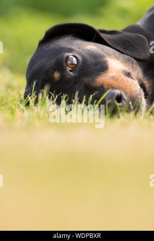 A young dachshund in the green garden - Stock Photo
