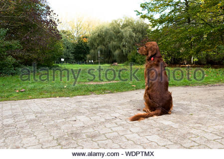 Brown labrador retriever on pathway near green field surrounded with tall and green trees - Stock Photo
