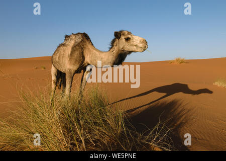 Side of an Arabian camel with a nice shadow of itself on the ground. Image is taken in a desert in Morocco. - Stock Photo