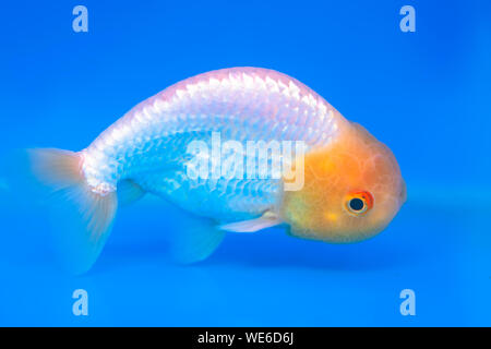 One of most popular pet ornamental fish is goldfish or Carassius auratus, Family Cyprinida. Ranchu or lionhead goldfish is very popular - Stock Photo