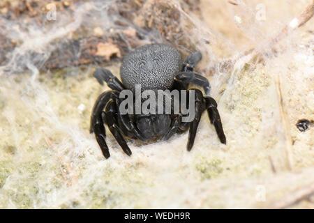 Eresus Velvet Spider (Eresus niger) or Ladybird Spider, female resting in web, Bulgaria, April - Stock Photo
