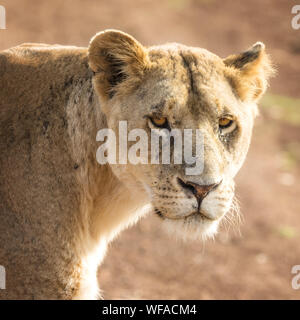 Young adult lioness in sunlight, looking directly at the camera, in the Masai Mara, Kenya. Lions are born with pink noses, and they become black over - Stock Photo