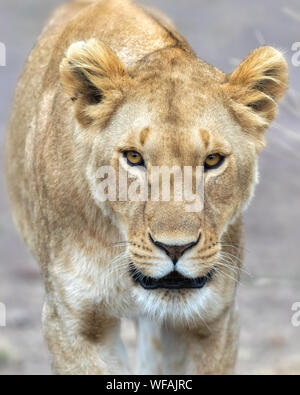 Young adult lioness looking directly at the camera, in the Masai Mara, Kenya. The Mara triangle is famous for it's numerous prides of lions. - Stock Photo