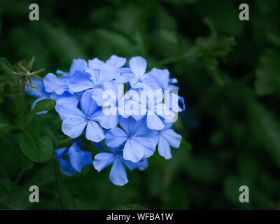 Closeups of little blue forget-me-not flowers on spring meadow, nature background - Stock Photo