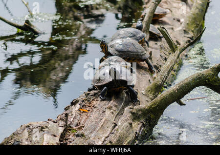 Four Yellow-bellied slider turtles on a log - Stock Photo