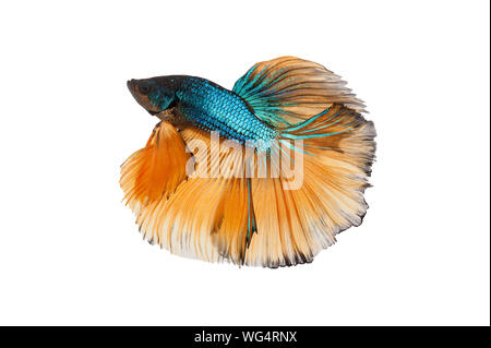 Half Moon Dumbo Betta fish, Capture the moving moment of Siamese fighting fish on white background - Stock Photo