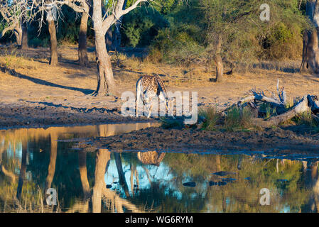 Giraffe drinking from waterhole at sunset. Wildlife Safari in the Mapungubwe National Park, South Africa. Scenic soft warm light. - Stock Photo
