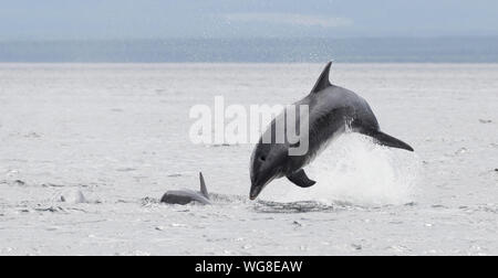 Breaching Bottlenose dolphin in the Cromarty Firth - Stock Photo
