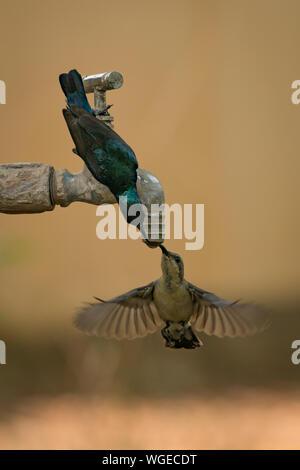Pair of purple sunbirds drinking tap water - Stock Photo