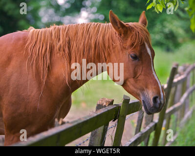 A brown horse looking over a wooden fence - Stock Photo
