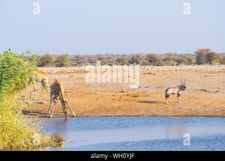 Giraffe kneeling and drinking from waterhole in daylight. Oryx standing on the pond bank. Wildlife Safari in Etosha National Park, travel destination - Stock Photo