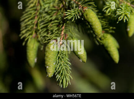 Small green fir cones on a pine tree - Stock Photo