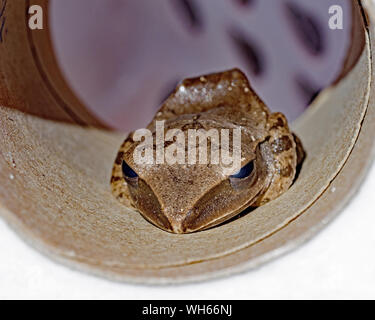 The ommon tree frog-Stock Photo - Stock Photo