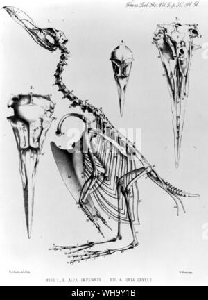 Skeleton and skull of a Great Auk together with the much smaller skull of a guillemot.  Lithograph by E. A. Smith from the transactions of the Zoologi - Stock Photo