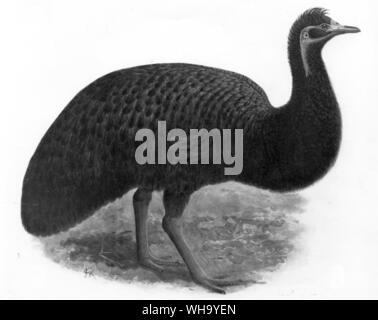 Kangaroo Island Emu?  Chromolithograph after a painting by J.G. Keulemans, from W. Rothschild's Extincs Birs (London, 1907), Pl.40, Courtesy of The Ho - Stock Photo