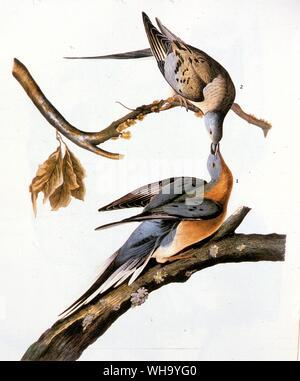 Passenger Pigeons female (above), male (below).  Aquatint by J.J. Audubon and R. Havell the younger from Audubon's Birds of America (London, 1827-38), - Stock Photo