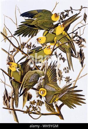 Carolina Parakeets.  Aquatint by J.J. Audubon and R. Havall the younger from Audubon's Birds of America (London, 1827-38), Pl.26. - Length of bird 30c - Stock Photo