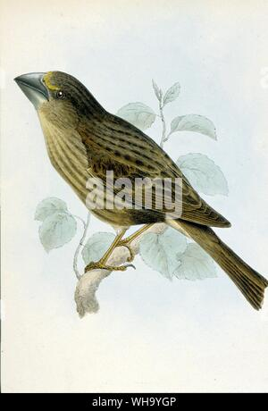 Bonin Islands Grosbeak (female) - Hand-coloured lithographs from C.L. Bonaparte and H. Schlegel's Monographie des Loxiens (Paris, 1850), Pl.37 and 38. - Stock Photo