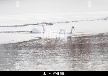 Two white swans on frozen lake. Winter frozen lake. - Stock Photo