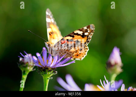 Painted Lady butterfly, Vanessa cardui, feeding on New York Asters, Symphyotrichum novi-belgii on a day of autumn in Finland. Shallow dof. - Stock Photo