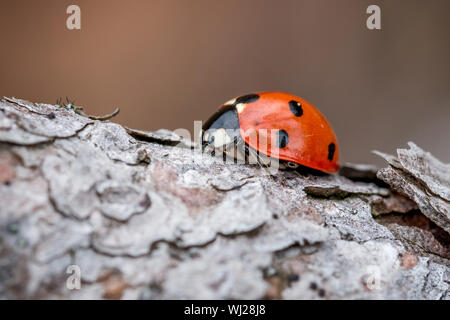 Macro photograph of a laybird from the side on pinewood - Stock Photo