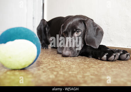 Sad dog laying at the defocused tennis ball. Natural light and colors - Stock Photo