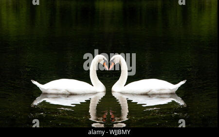 Two beautiful white swans romantically together creating a heart shape in a lake. - Stock Photo
