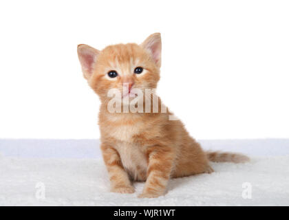 Adorable tiny orange ginger tabby kitten sitting on sheepskin bed looking at viewer with curious expression, isolated on white. - Stock Photo