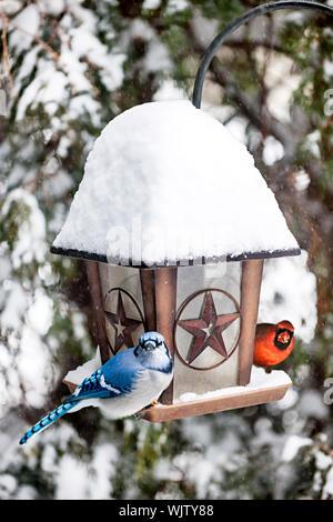 Blue jay and cardinal birds on bird feeder in winter - Stock Photo