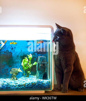 British blue cat licking his lips sitting next to a fish tank with orange and red goal fish in the tank, he is staring at the fish and two of the goal - Stock Photo