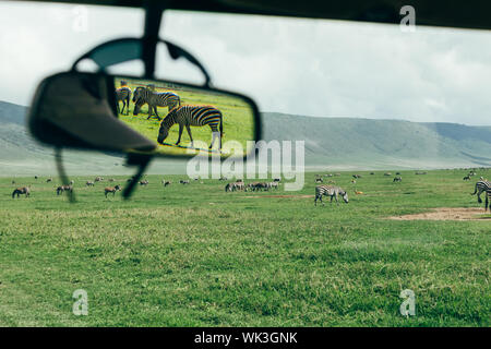 Zebras seen in rear mirror of the jeep in Ngorongoro crater - Stock Photo