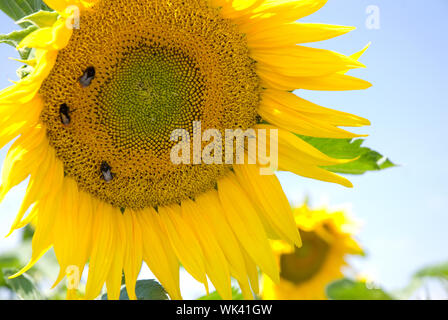 Big three bumblebees taking nectar on yellow sunflower blooming on the blue sky, Helianthus plant called sunflower growing on plantation field in summ - Stock Photo